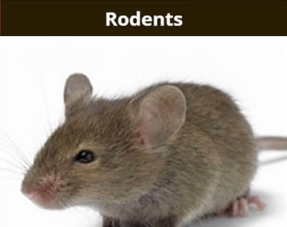 Rodents - picture of a mouse.